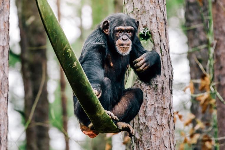 El Chimpancé
